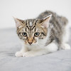 white-brown-tabby8