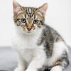 white-brown-tabby5