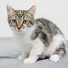 white-brown-tabby3