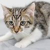 white-brown-tabby7