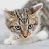 white-brown-tabby9