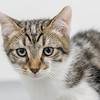 white-brown-tabby4