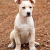 tan-white-large-puppy1