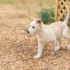 tan-white-large-puppy2