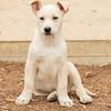 tan-white-large-puppy3