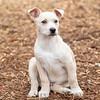 tan-white-large-puppy6