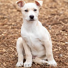 tan-white-large-puppy5