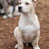 tan-white-large-puppy7