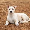 tan-white-large-puppy11