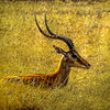 Antelope in the Grass