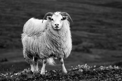Ram above Reykjahlíð, Mývatn