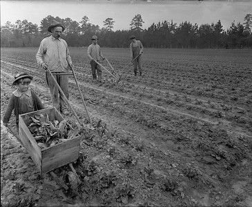 cultivating tobacco rows in field--no location