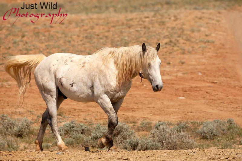 Running Bear, a grey sabino stallion