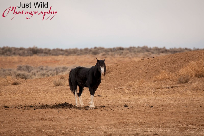 Utah, a black sabino stallion