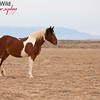 Walks Ahead, a bay tobiano mare