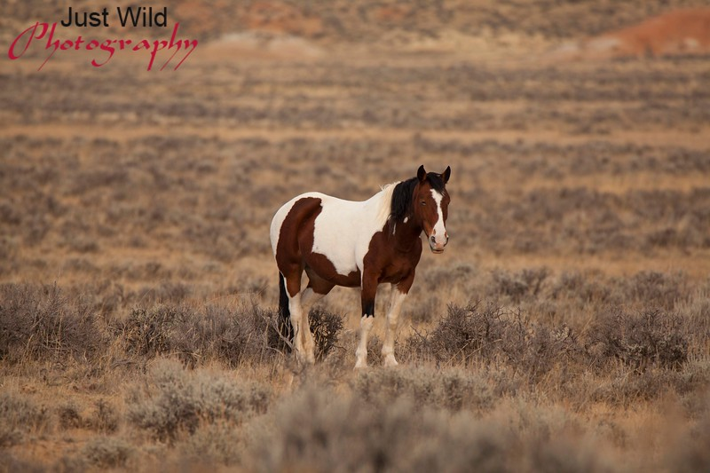 Ruger, a bay tobiano mare