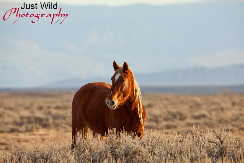 Payette, a sorrel mare