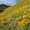 Hillside with Balsamroot