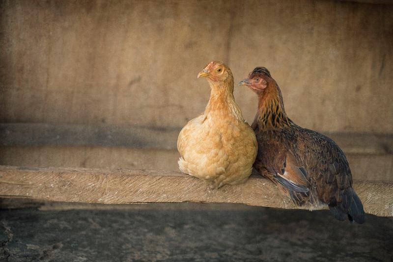 Portland Loves Chickens