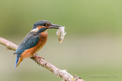 IJsvogel - Common Kingfisher - Alcedo Atthis