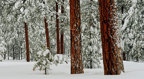 """PONDEROSA WONDERLAND"" (Coconino Nat'l Forest, AZ)"