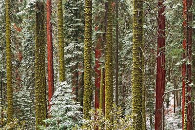 """""""SEQUOIA LINES"""" (Sequoia Nat'l Park, CA)"""