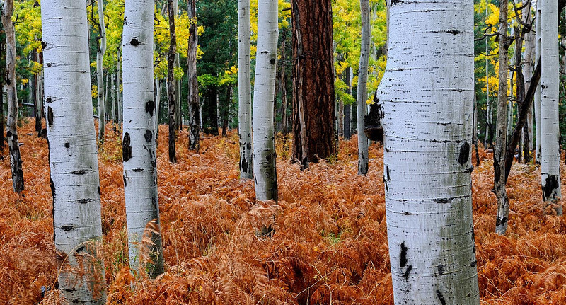 """INTO THE ASPENS""  (San Francisco Peaks, AZ) - I liked how the ferns added color to this aspen grove near Hart Prairie."