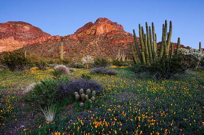 """""""ORGAN PIPE BLOOM"""" (Organ Pipe Cactus N.M., AZ) - The amazing site of wildflowers blooming in the desert."""