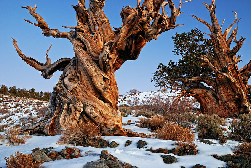 """GNARLY"" (White Mountains, CA) - These bristlecone pines are part of the grove which has the oldest living things on the planet - over 4000 years old."