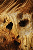 """THE SCREAM"" - This bristlecone trunk is obviously the prototype for Edvard Munch's painting ""The Scream""!"