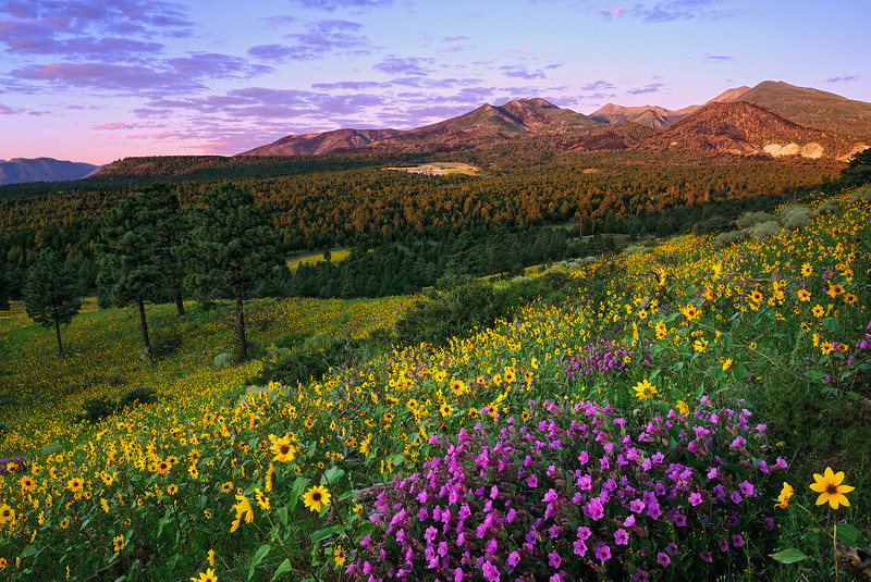 """FOUR O'CLOCK SUNRISE"" (San Francisco Peaks, AZ) - Four o'clocks mix in with Sunflowers to create a sea of color outside of Flagstaff. Four o'clocks get there name from the fact that they stay closed until late in the day (around four o'clock), when they open up to reveal their true colors."