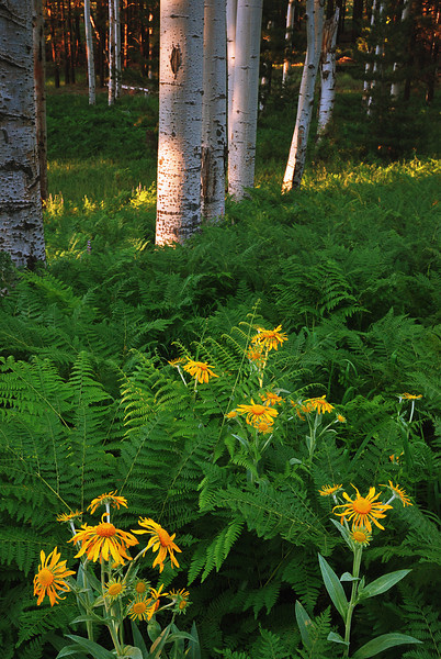 """LUSH LIFE"" (Hart Prairie, Flagstaff) - Flowers and ferns in a lush grove of Aspens."