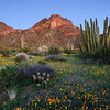 """ORGAN PIPE BLOOM"" (Organ Pipe Cactus N.M., AZ) - The amazing site of wildflowers blooming in the desert."