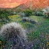"""""""DESERT GLOW"""" (Organ Pipe Cactus N.M., AZ)"""
