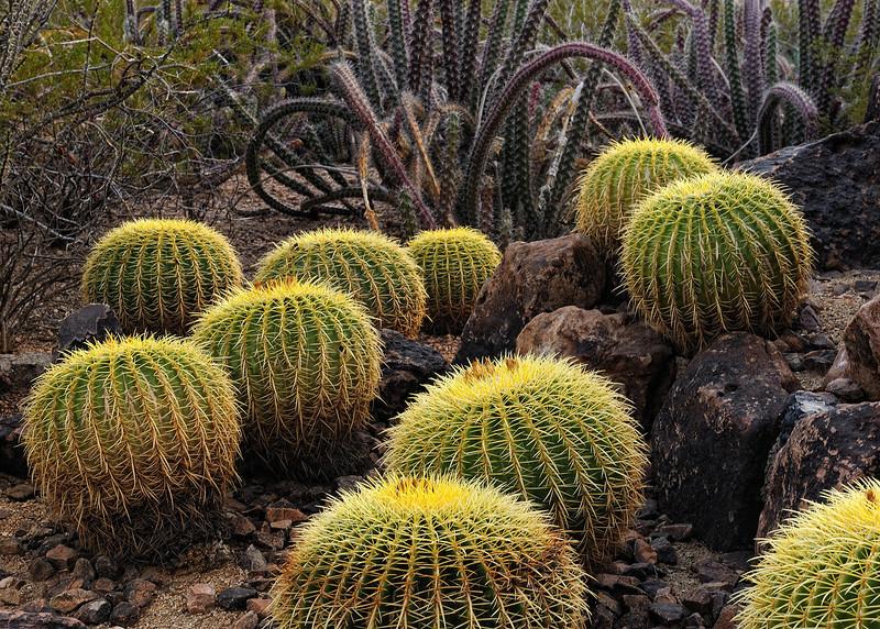 """""""THE LIVING DESERT"""" (Desert Botanical Gardens, AZ)"""