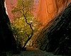 """LONG CANYON TREE"" - This scene is in a short slot canyon that branches off from Long Canyon, east of Boulder, Utah."