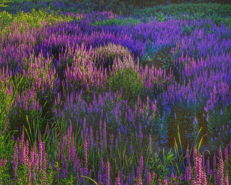 Loosestrife Meadow