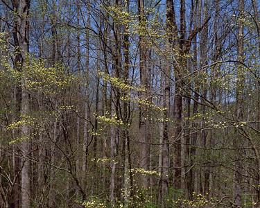 Dogwood I