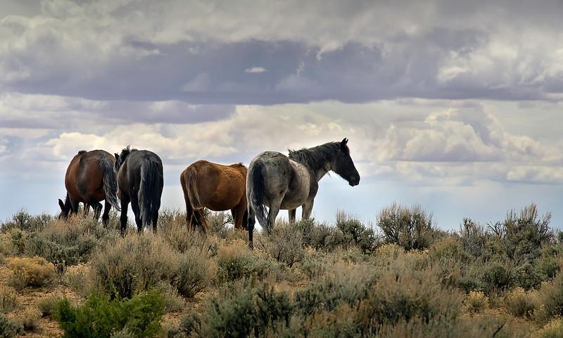 WILD  HORSES,  OPEN  RANGE
