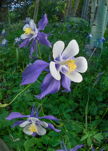 #36 Rocky Mountain Columbine Group