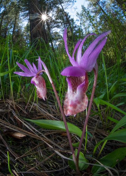 #6 Fairy Slipper Orchid