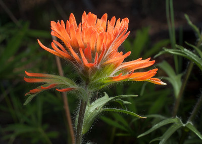 #25-Indian Paintbrush First
