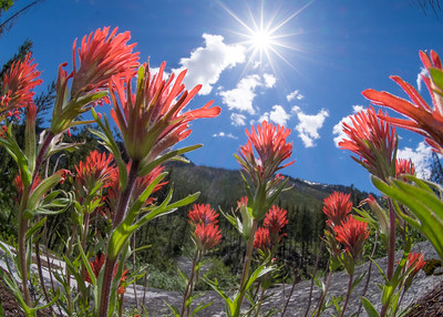 #42-Indian Paintbrush group
