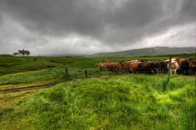 Cows And Church, Keldur South Iceland