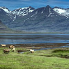 Sheep, East Fjords, East Iceland