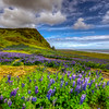 Lupins In Vik, South Iceland