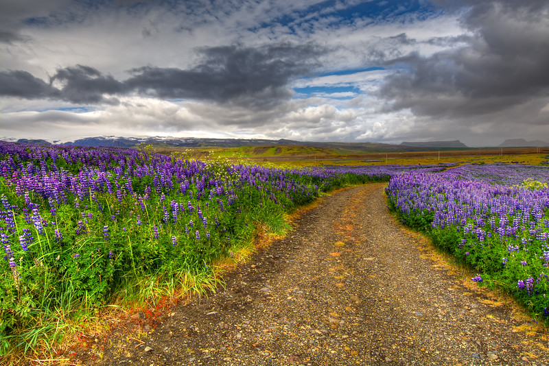 Lupins Under Storm Clouds,South Iceland