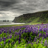 Lupins Over Vik, South Iceland