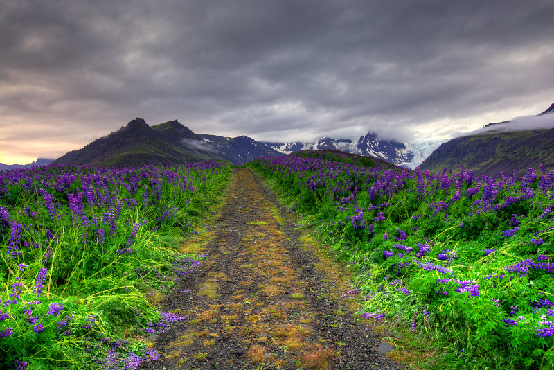 Pathway Of Lupins, East Iceland