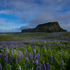 Lupins And Mountain Landscape, Vik, South Iceland